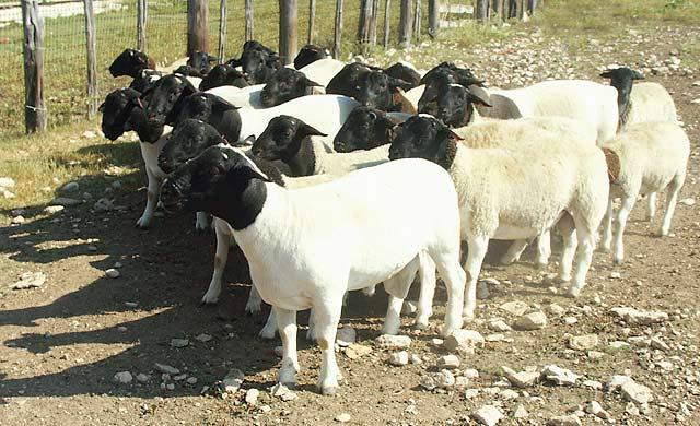 Raising Hair Sheep and Meat Goats